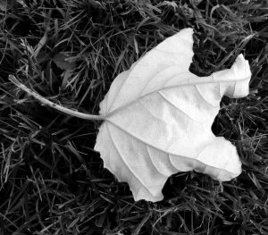 8-white-poplar-leaf